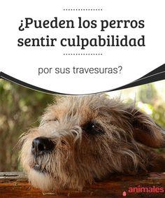 ¿Pueden los perros sentir culpabilidad por sus travesuras?  Todos los que tenemos perro hemos sufrido alguna de sus travesuras, Y también hemos visto su cara de culpabilidad cuando los regañamos. #travesuras #culpa #saber #alimentación