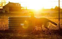 Emmett the #germanshepherd romping in the yard as the sun sets over the hill. Running and romping two of his best hobbies....  My buddy my pal my friend  #brownfootbear #brownfootbearphotography #photography #gunnarwilliamsphotography #gunnwilliams #dog #dogs #dogsofinstagram #dogoftheday #woof #mustlovedogs #withdog #love #boyandhisdog #KansasCity #kc #Kansas #ks #kansasphotos #summer #doggiebff #mybuddymypalmyfriend #sunset