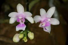 Phalaenopsis deliciosa - An extremely widespread species ranging from India in the west across to China, Thailand, Vietnam and Philippines and down into Borneo, Sulawesi and Sumatra