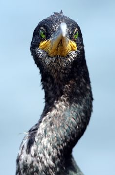 https://flic.kr/p/fNH1fX | Cormorant near Koper Capodistria Slovenia | European Shag or Common Shag Phalacrocorax aristotelis There's a green-eyed yellow cormorant  to the north of Capodistria...  It has started to bug me that I failed to get the tip of its beak in focus!