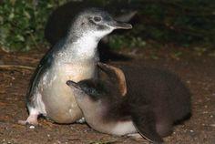 Fairy Penguins - Phillips Island, Australia