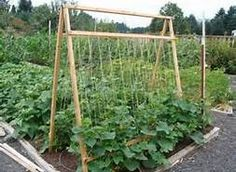 cucumber trellis plans - Bing Images