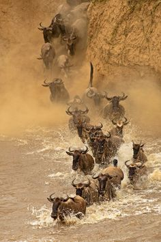 Wildebeests move from Tanzania into Kenya