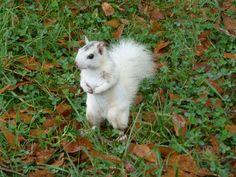 white squirrel in North Carolina, USA