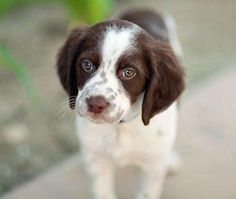 brittany spaniel pup