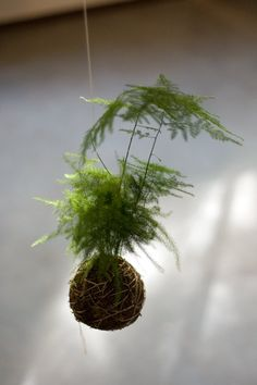 string garden, I have this pant it is an asparagus trailing fern gets really tall looks like a mini forest love it dried and pressed too