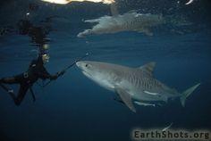 Tiger Shark Bless by Roger Horrocks