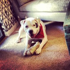 #petey #pitbulls