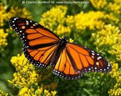 """""""monarch butterfly"""" - The monarch butterfly of North America logged 1, 870 miles [3, 010 km] on its migration flight."""