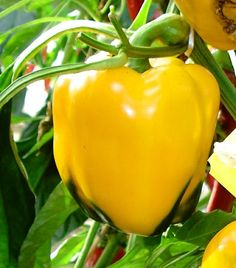 Pepper, Tomato, Pumpkin, Herb, Organic, Gourd, and Heirloom Seeds from The Pepper Gal