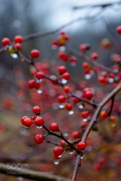 Berries in the rain by MDBabbidge #nature #mothernature #travel #traveling #vacation #visiting #trip #holiday #tourism #tourist #photooftheday #amazing #picoftheday
