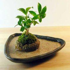 bonsai Bonsai Mame, Bonsai Ficus, Indoor Bonsai Tree, Mini Bonsai, Indoor Plants, Garden Terrarium, Bonsai Garden, Moss Garden, Garden Pots