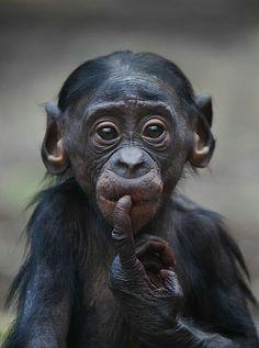 Little Bonobo Chimp Primates, Mammals, Nature Animals, Animals And Pets, Wild Animals, Strange Animals, Cute Baby Animals, Funny Animals, Animals Kissing