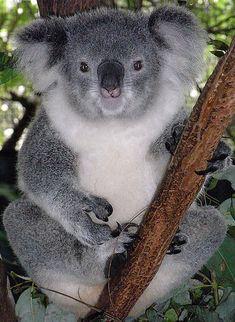 Hold a koala bear in Australia Bear Photos, Bear Pictures, Giraffe Photos, Animal 2, Mundo Animal, Animal Pics, Animals And Pets, Funny Animals, Cute Animals