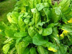 L'oseille légume perpétuel. Très facile à cultiver, elle s'accommode d'un emplacement frais et ombragé. Vous pourrez ainsi la cuisiner à la manière des épinards pour accompagner du poisson par exemple ou bien utiliser les jeunes pousses en salade. Plus vous la couperez et plus elle produira de nouvelles feuilles ! Aussi, récoltez régulièrement les feuilles mêmes si elles ne seront pas consommées de manière à en avoir toujours de jeunes et tendres à portée.