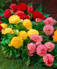 'Non Stop'® Begonias Mixed | from Spalding Bulb