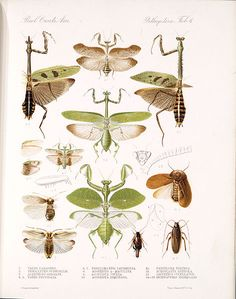 Saussure - praying mantis