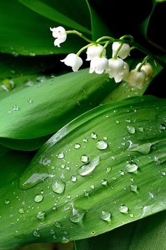 .~Consider the lilies... | water droplets on lily of the valley by cricketumpire~.