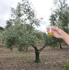 Entre Viñedos y Olivares - IV Primavera Enogastronómica 2016 - Ruta del Vino Ribera del Guadiana - cata de aceite en olivar de Palacio Quemado