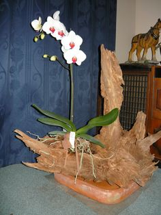 Phaleanopsis orchid mounted on driftwood Orchid Flower Arrangements, Orchid Planters, Orchids Garden, Moth Orchid, Orchid Care, Garden Center Displays, Artificial Orchids, Growing Orchids, Air Plant Terrarium
