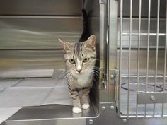 Sissy is an adoptable Domestic Short Hair searching for a forever family near Pikeville, KY. Use Petfinder to find adoptable pets in your area.