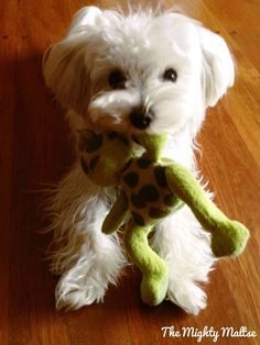 Loving the shorter ear cut Maltese Dogs, Teacup Maltese, Mammals, Amphibians, Reptiles, Cute Puppies, Cute Dogs, Pet Chickens, Small Dogs