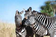 Research into brain and vision psychology suggests that stripes serve a social function –to promote group cohesion. Photo courtesy of Billy Dodson. Plains Zebra, Wildlife Conservation, Zebras, Fun Facts, This Is Us, Africa, Creatures, Fascinating Facts, Stripes