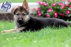Puppy Finder Find Buy A Dog Today By Using Our Petfinder Puppies Puppy Finder Buy A Dog