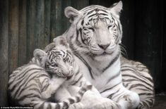 Cleaning time: One of the cubs has a nibble on its paw as mum snoozes peacefully next to i...