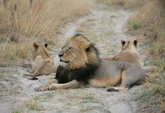 Cecil was a lion in Hwange National Park, Zimbabwe. He was killed on 1 July at the age of thirteen. Beautiful Lion, Animals Beautiful, Cute Animals, Wild Animals, Beautiful Creatures, Lion Hunting, Trophy Hunting, Predator Hunting, Carnivore