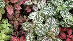 La fitonia o Fittonia verschaffeltii Plant Identification, Foliage Plants, Cactus, Succulents, Patio, Fruit, Vegetables, Flowers, Gardening