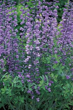 False Indigo (Baptisia australis) is a big perennial that's tough as nails, false indigo kicks off summer with spires of pure blue (cultivars come in a variety of other colors). Its rounded form makes a great contrast to the verticality of prairie grasses. False indigo develops deep taproots, so site it in a spot for the long term. It self-seeds modestly, and it's safe to move seedlings when small. Grows up to 4 feet high and wide in Zones 3 to 9.