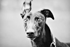 This is a greyhound look.