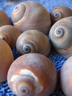 Shark's eye or Moon Snails  Sanibel island. It took us the whole week to find 2 of these!