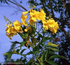 Yellow Bells/Esperanza (Tecoma stans) - Texas/Mexico native perennial flowering shrub. Reseeds readily, grows back from rootstock every Spring.