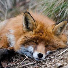Fox resting.