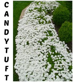 Candytuft:  an evergreen perennial - growth habits are on this post. This is an easy plant to divide.