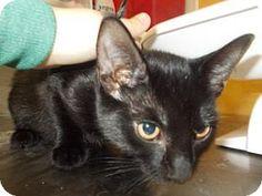 Salem, OR - Domestic Shorthair. Meet Kiki, a kitten for adoption. http://www.adoptapet.com/pet/11310971-salem-oregon-kitten