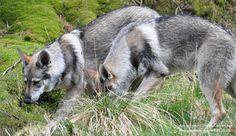 Maska and Kajika - Timber Wolves