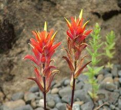 My favorite flower, the Indian Paintbrush Indian Paintbrush, Paint Brushes, Beautiful Images, Poppies, Cactus, Wildlife, Tatoos, Flowers, Plants