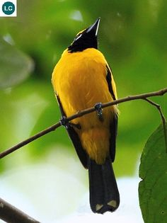 "https://www.facebook.com/WonderBirdSpecies/ Golden monarch (male)(Carterornis chrysomela); New Guinea; IUCN Red List of Threatened Species 3.1 : Least Concern (LC)(Loài ít quan tâm) <("") Chim Quân vương vàng (trống); New Guinea; HỌ ĐỚP RUỒI QUÂN VƯƠNG - MONARCHIDAE (Monarch flycatchers)."