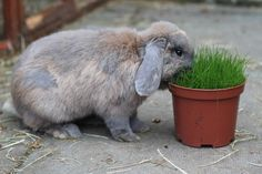 Our very special boy Bullet hopped off to live with Silver last week. Another successful re homing by Buddies Bunnies Rescue.