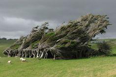 Árvore modificada brilhantemente pelos ventos da Nova Zelândia 16 árvores mais lindas do mundo (Foto: reprodução)