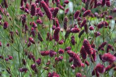 SANGUISORBA 'Raspberry Coulis' - Our introduction! Warm maroon drumstick flowers over a long season on upright stems. Quite special - this definitely deserved a name.