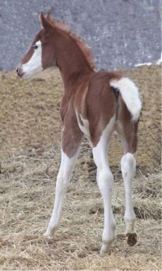 Paint foal ~ beautiful high-white leg markings.