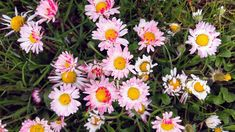 Daisys Yellow Tulips, Pink Flowers, Star Flower, Cactus Flower, Image Collection, White Roses, Poppies, Original Artwork, Lilac