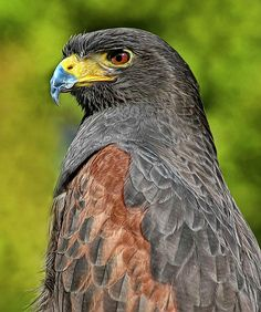✯ Harris Hawk, my favourite bird of prey