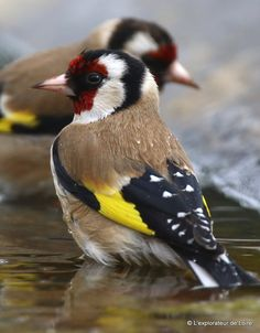 Chardonneret - Goldfinch                                                                                                                                                                                 Plus