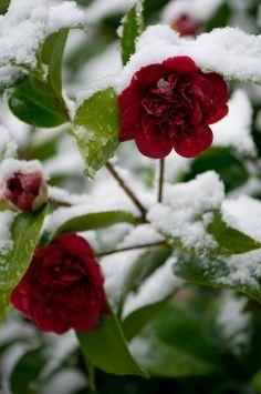 Winter camellia blossom in snow Georgianna Lane (via Garden Photo World Stock Image Library)