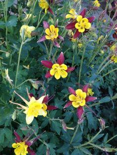 'Columbine' Colorado State Flower, Idaho Springs June 2013 #IdahoSprings #Colorado #indianhotsprings #relax #vacation Idaho Springs, My Photo Gallery, Colorado Homes, June, Flowers, Plants, Pictures, Photos, Plant